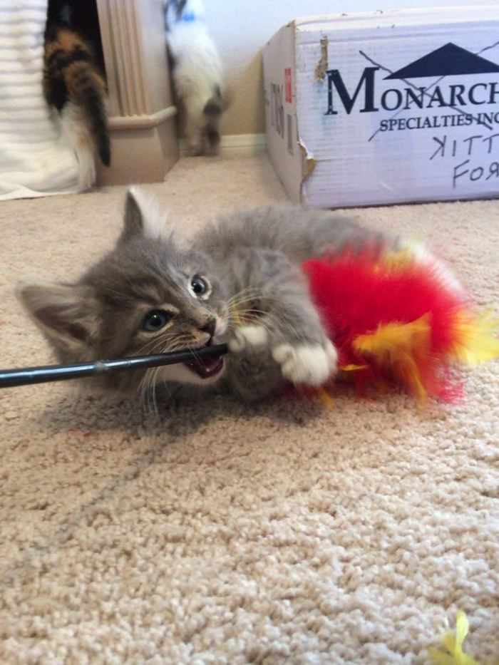 Kitten gnaw